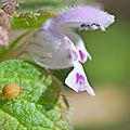 Paysage avec fleur et collembole (le printemps)