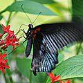 Papilio lowi • Papilionidae • Philippines