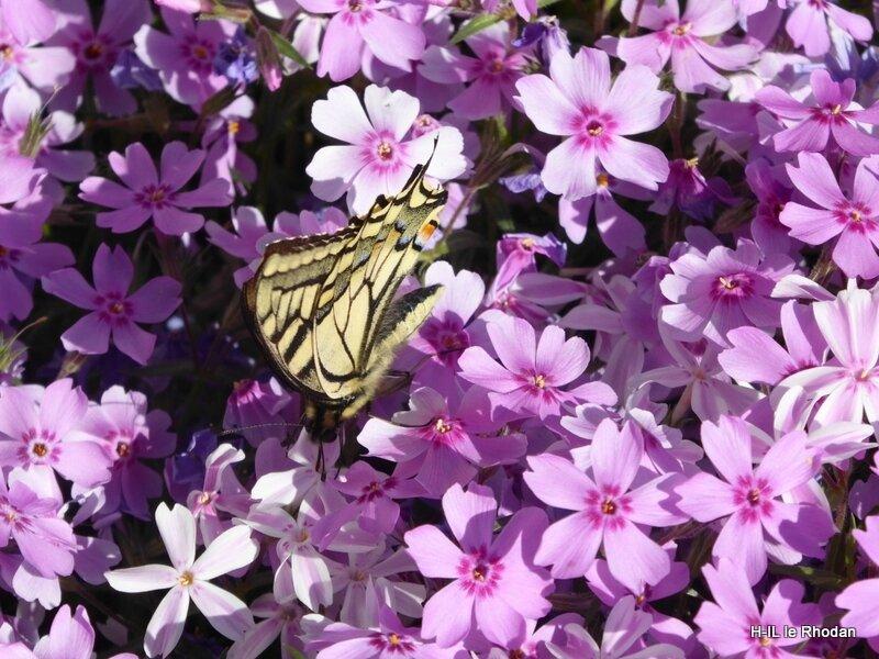 Papillon (22)
