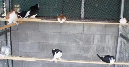 PIGEONS_je_crois_EN_CAGE_snif