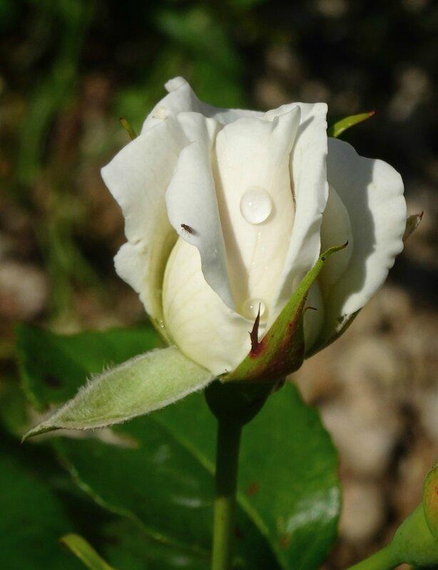 rosier virgo
