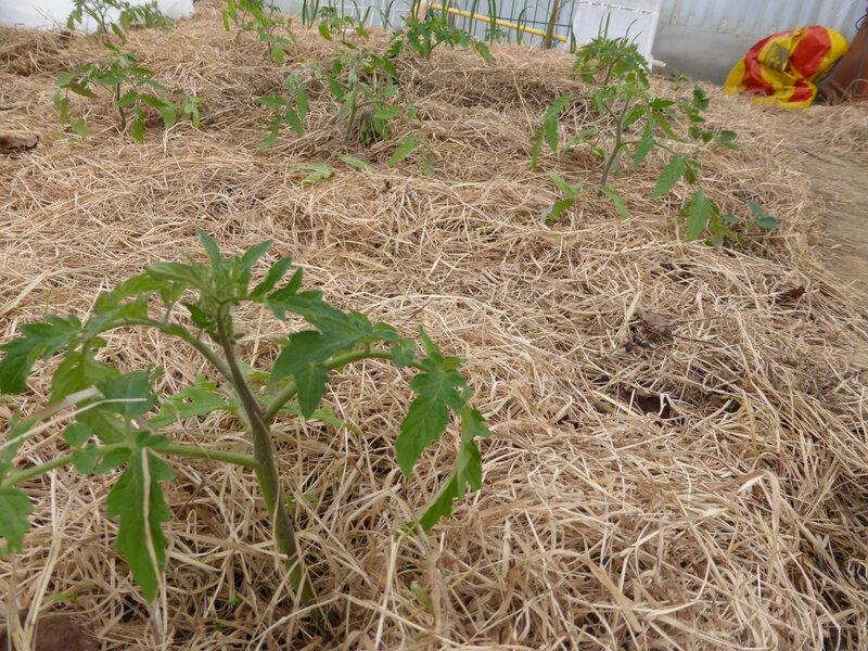 29-tomates (1)