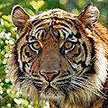 [grif' en bref] journée internationale du tigre 2020