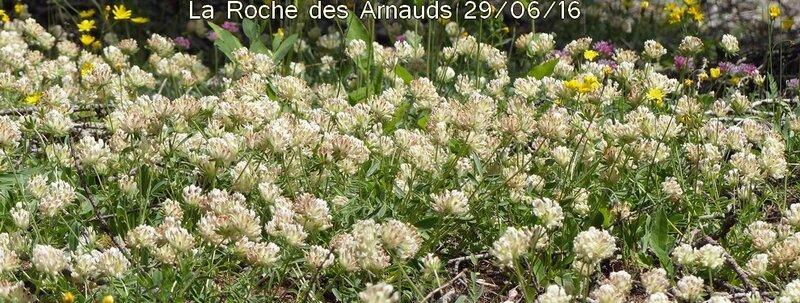 anthyllis vulneraria subsp alpestris