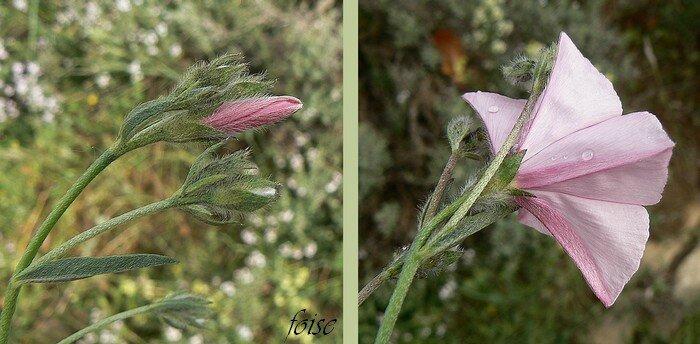 fleurs groupées de 1 à 4 longuement pédicellées