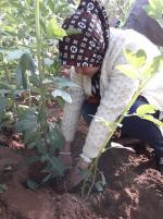tasser la terre autour du plant