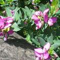 Polygale à feuille de Myrte • Polygala myrtifolia • Polygalaceae