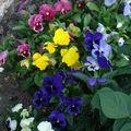 2009 08 14 Fleurs de pensées