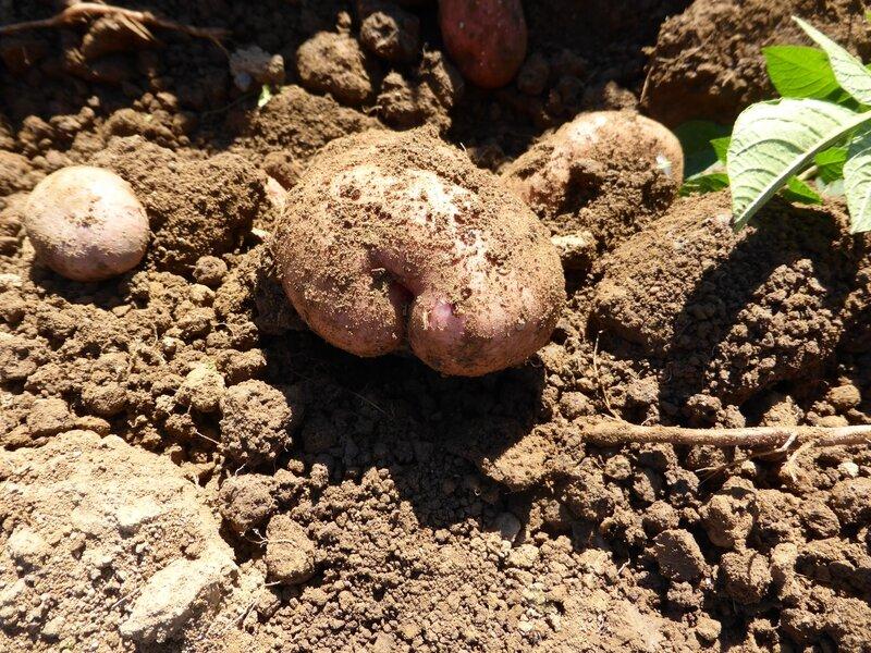 3-arrachage pommes de terre mira (6)