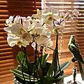 Soigner une orchidée papillon (phalaenopsis)