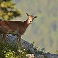 Mouflon chartrousine