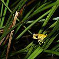 Dendropsophus minutus - Rainette menue