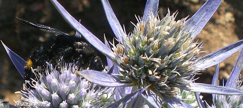 Scolie hirsute • Scolia hirta subsp. unifasciata