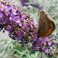 Le Myrtil • Maniola jurtina • Nymphalidae