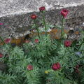 2009 05 25 Futur fleurs de Pyrèthre de Robinson