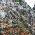 2009 06 29 Des bouquetins sur le sommet du Grand Veymont dans le vercors (8)