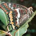 Pacha à 2 queues • Charaxes jasius • Famille: Nymphalidae