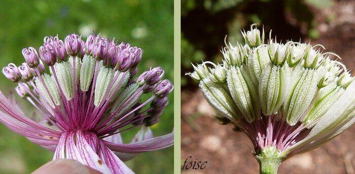 fleurs plus ou moins colorées calices à dents lancéolées aristées