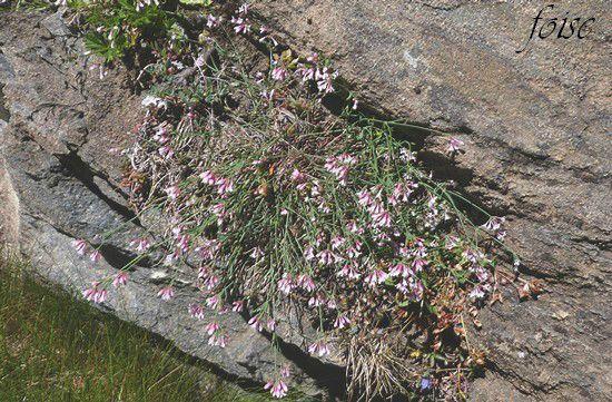aspérule à fleurs longues AA