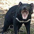 Un briseur d'os: le diable de tasmanie