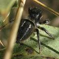 Salticidae: forme sombre de philaeus chrysops ?