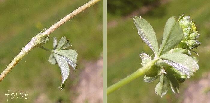 feuilles caulinaires peu nombreuses brièvement pétiolées ou sessiles
