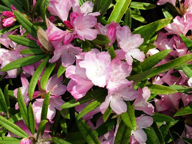47 - Rhododendron makinoï