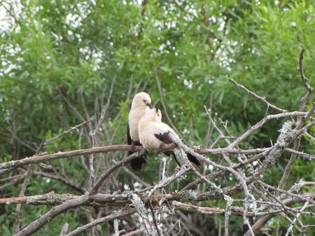 Babbler_Southern_Pied1