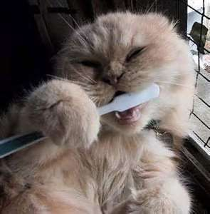 Brosse___dents___Chat
