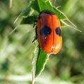 Clytre lustré • Clytra laeviuscula • famille des Chrysomelidae