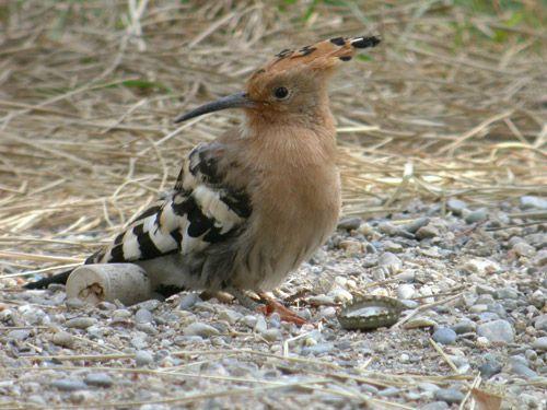 oiseaux migrateur du canada