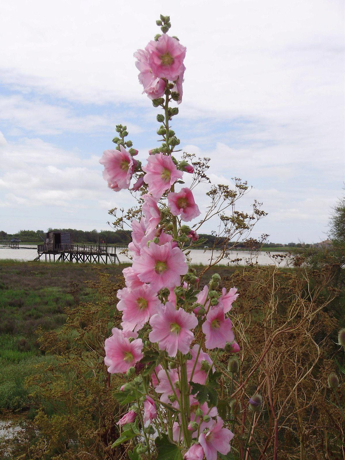 le carrelet et la rose trémière
