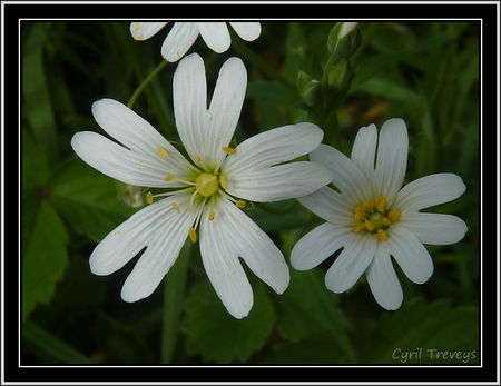 2010_06_01_Fleurs_de_stellaires