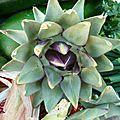 artichaut - - www.passionpotager.canalblog.com