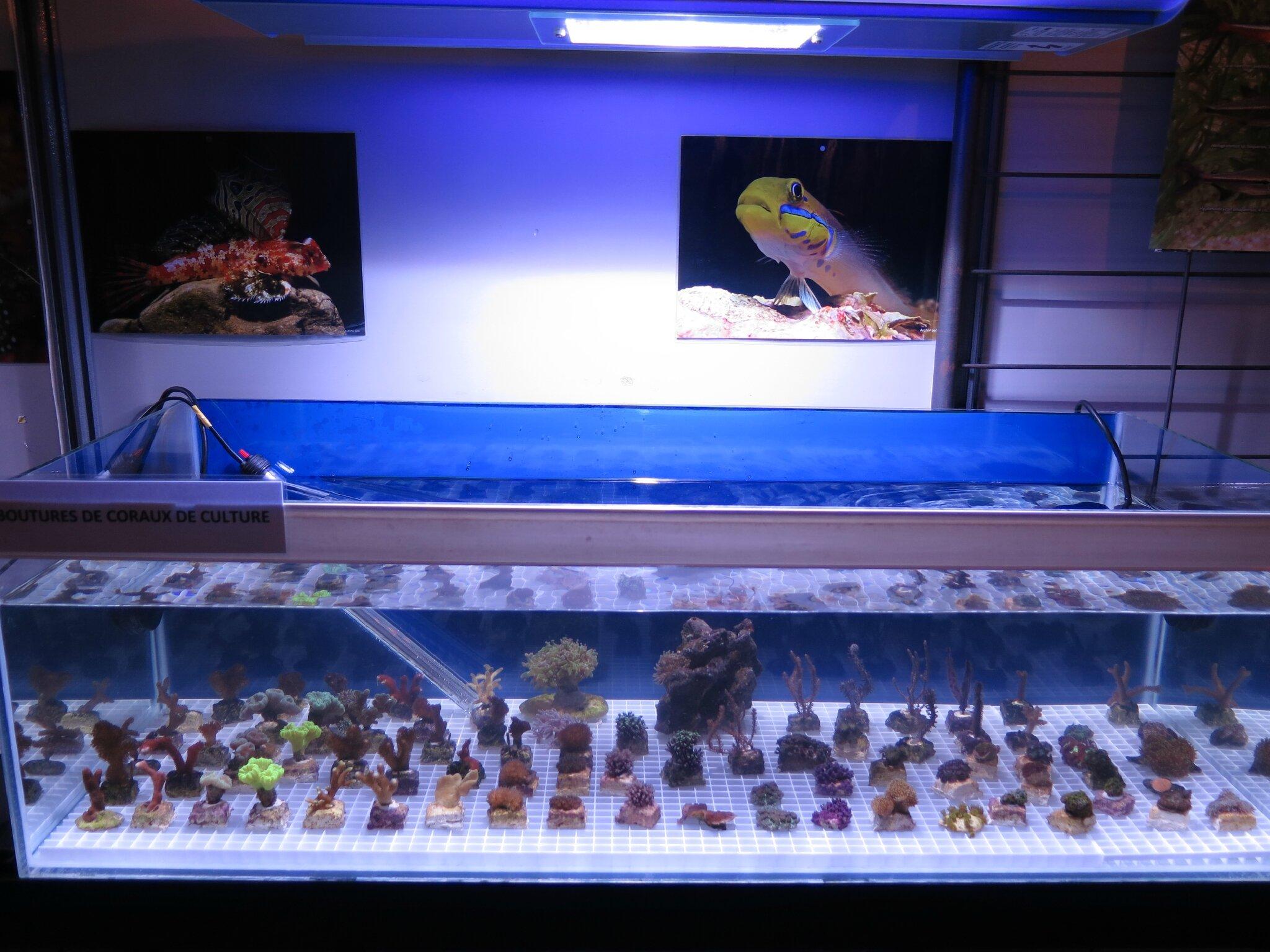 Un bac de présentation de boutures de coraux de culture