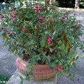 Bouturez vos fuchsias pour obtenir de nouveaux plants