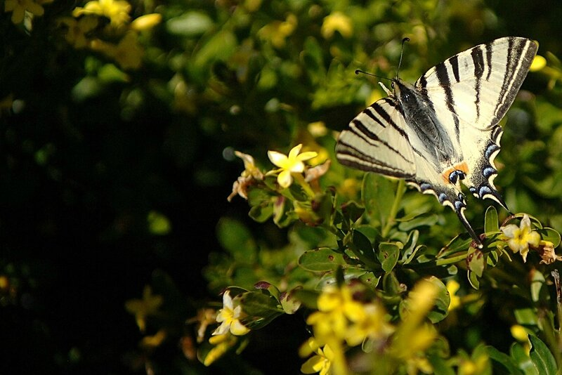 Papillon Var 2013 (100)