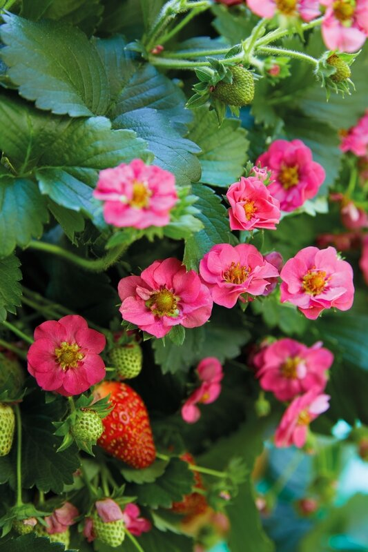 Fragaria-SummerBreezePink-close-up
