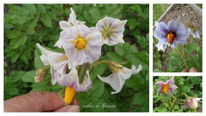 fleur mystère