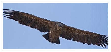 Bardenas_vautour_vol_GP_face_270310_17