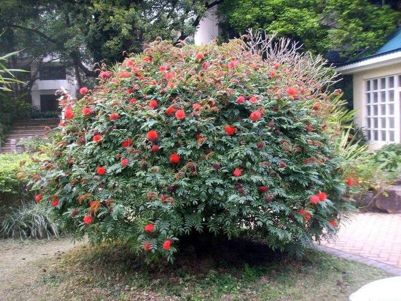 梧桐山賓館庭園紅絨球盛開