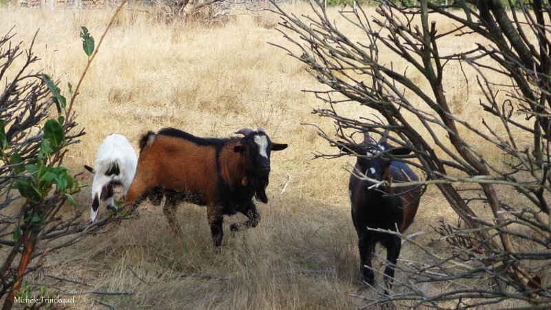 Chèvres 2409162