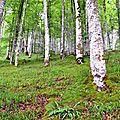 Hêtres rectilignes dans les pentes de Boesou.