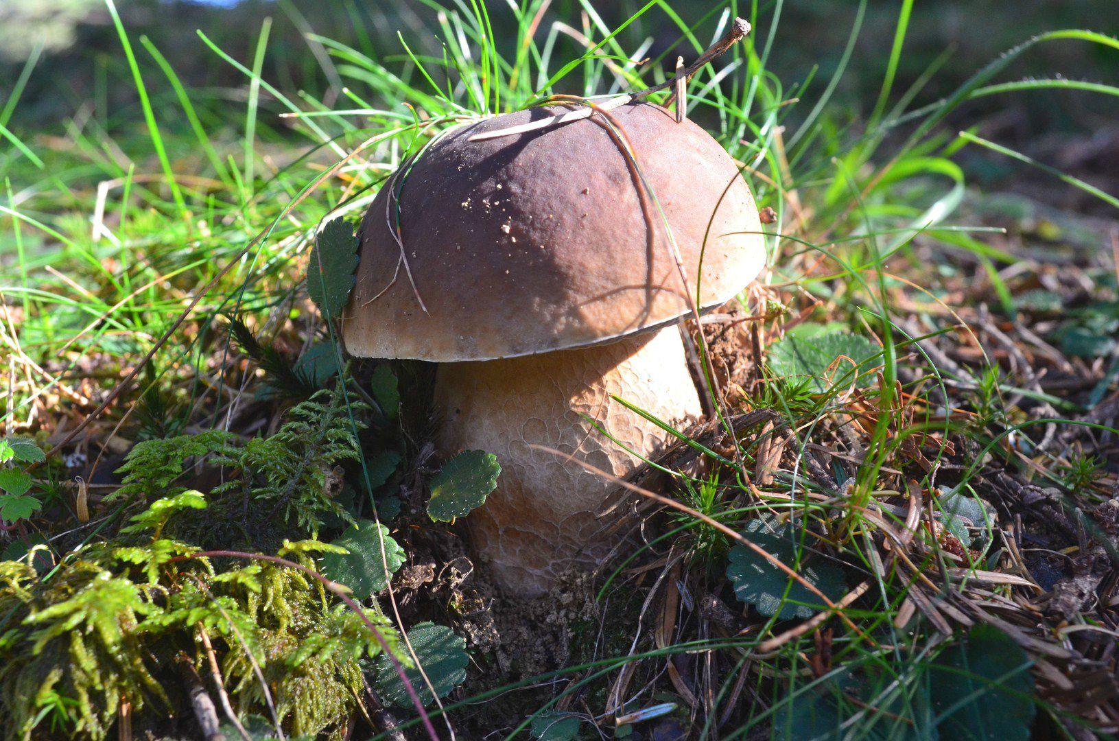 Jeune cèpe de Bordeaux dans l'herbe...