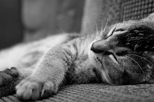 Sleeping_poshi_cat_by_kayjensen
