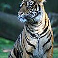bz_30apr11_tigre2