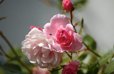 rosier_bonica