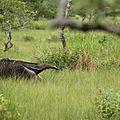 Myrmecophaga tridactyla - Tamanoir