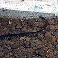 Huahine 2006 (66)anguille sacrée
