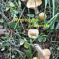 Hygrocybe pratensis